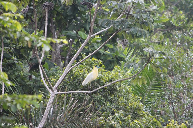 Capped Heron (Pilherodius pileatus) [brazil_1781]