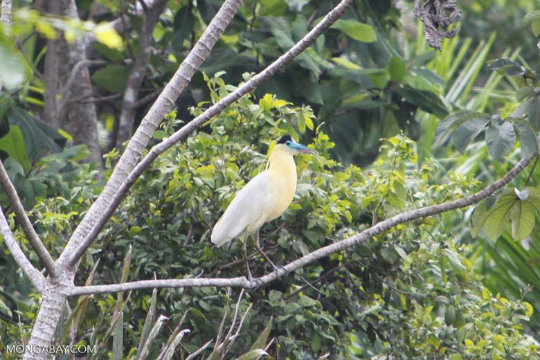 Capped Heron (Pilherodius pileatus) [brazil_1783]