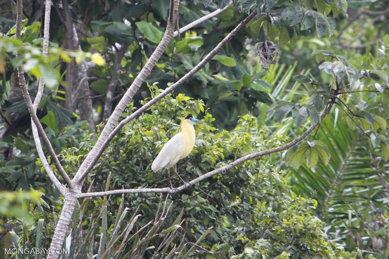 Capped Heron (Pilherodius pileatus) [brazil_1784]