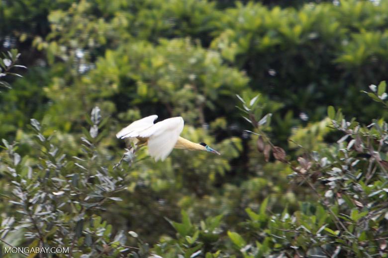 Capped Heron (Pilherodius pileatus) in flight