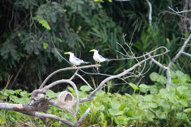 Large-billed Terns (Phaetusa simplex)