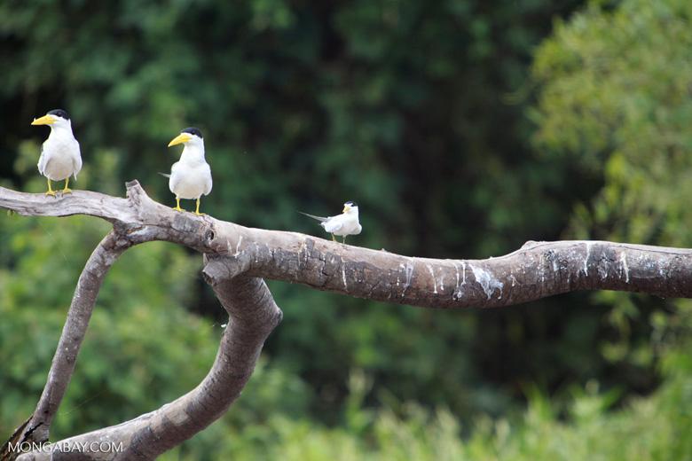 Large-billed Terns (Phaetusa simplex), a Yellow-billed Tern (Sterna superciliaris) taking flight
