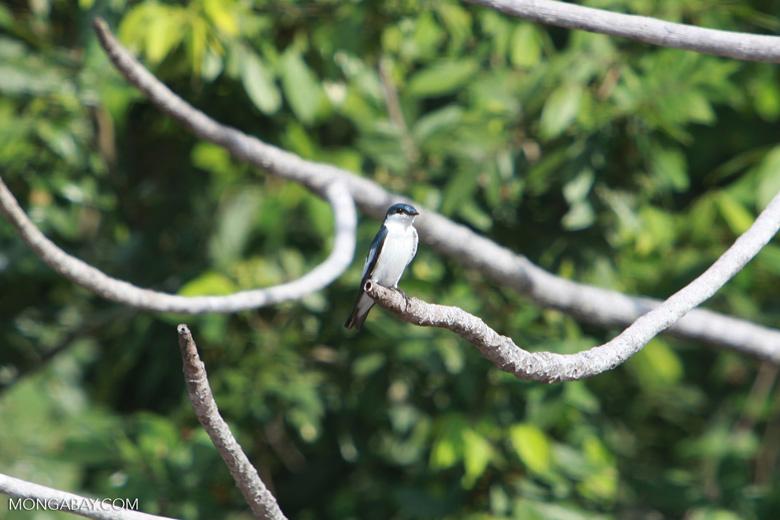 White-winged Swallow (Tachycineta albiventer)