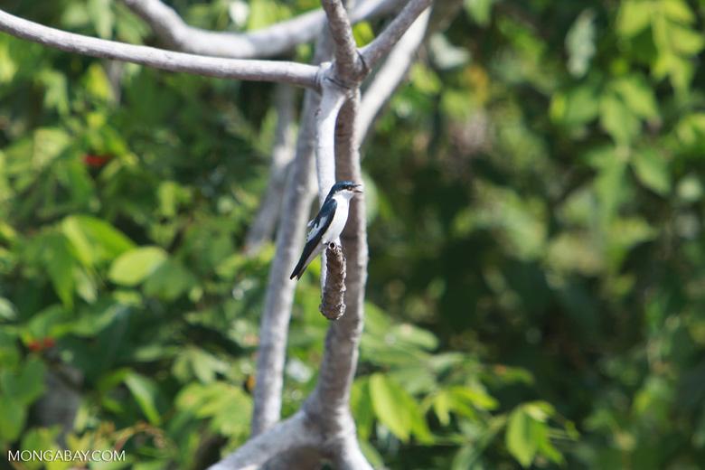 White-winged Swallow (Tachycineta albiventer) [brazil_1805]