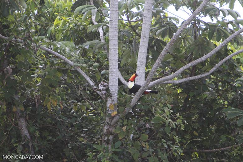 Toco Toucan (Ramphastos toco)  [brazil_1809]