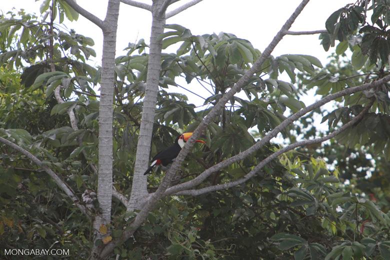 Toco Toucan (Ramphastos toco)  [brazil_1810]