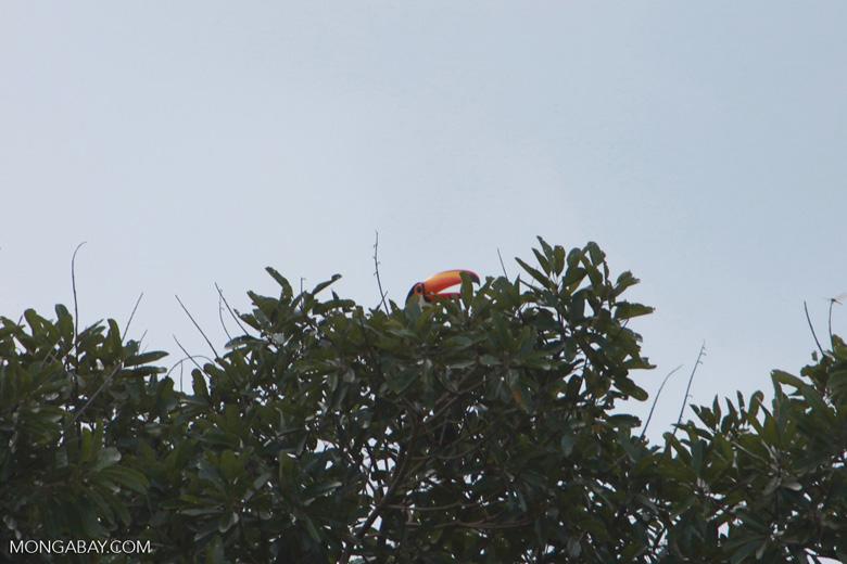Toco Toucan (Ramphastos toco)  [brazil_1811]