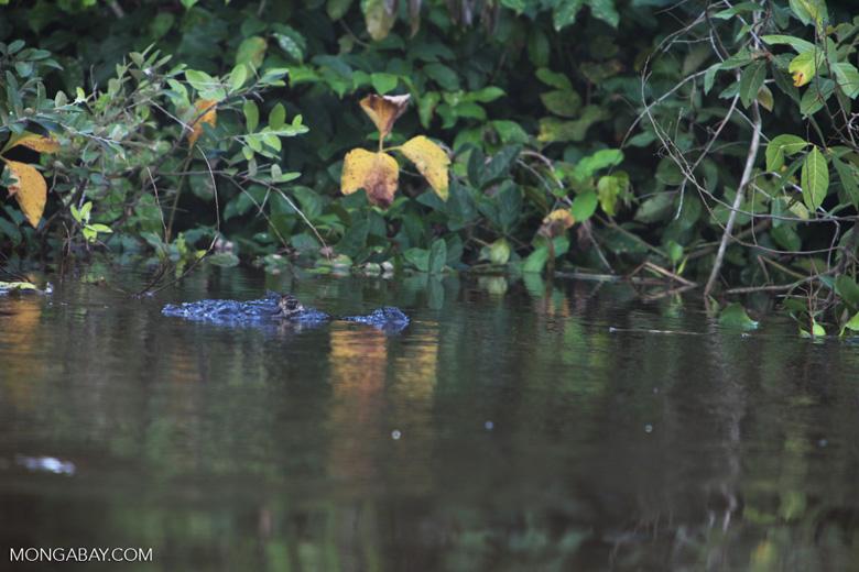 Black caiman [brazil_1817]