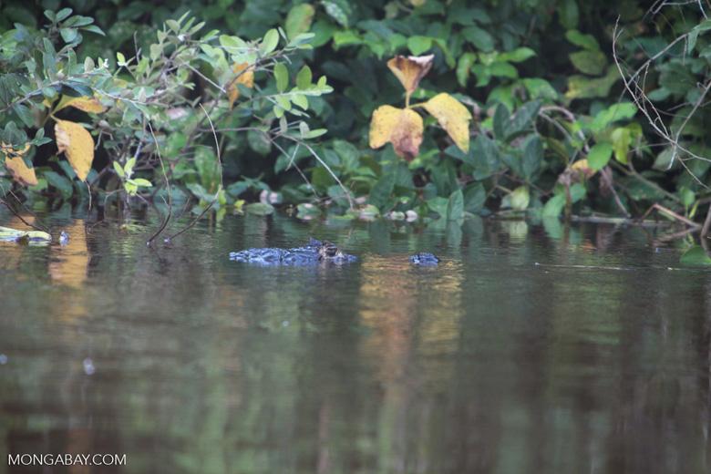 Black caiman [brazil_1818]