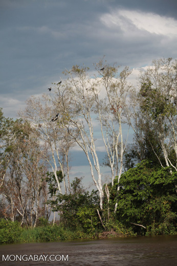 Cormorants in a tree along the Cuiaba river