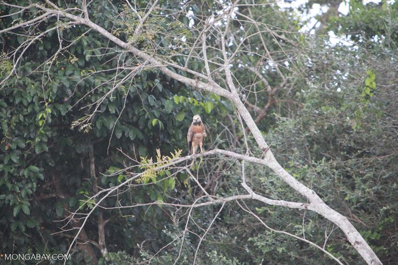 Black collared hawk [brazil_1842]