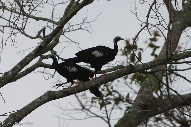 Pair of Blue-throated Piping-guan, Aburria cumanensis