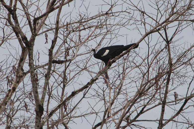 Blue-throated Piping-guan, Aburria cumanensis