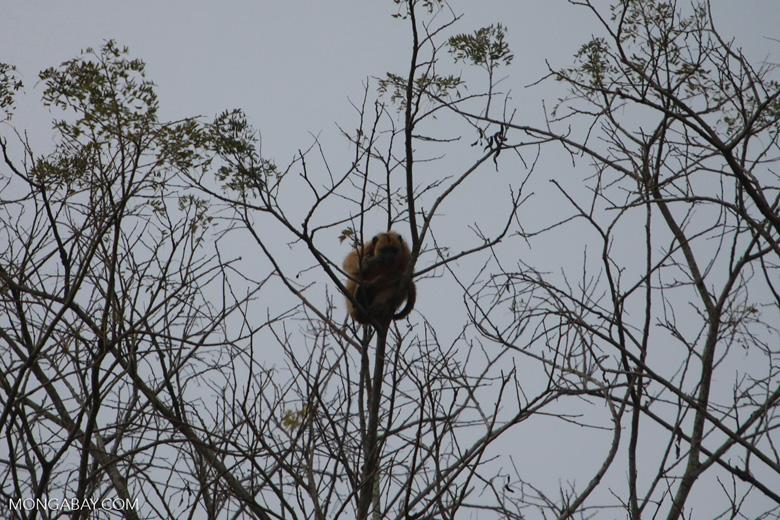 Solitary golden black howler monkey (female) [brazil_1865]