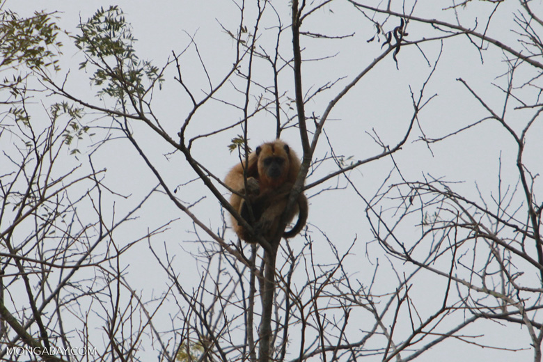 Solitary golden black howler monkey (female) [brazil_1867]