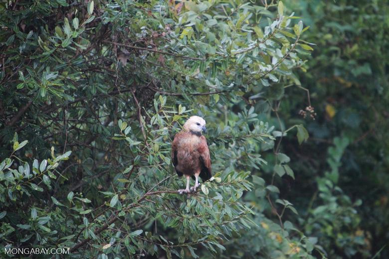 Black-collared Hawk (Busarellus nigricollis)