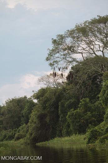 Hanging Oropendula nests [brazil_1877]