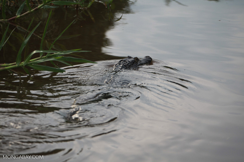 Caiman in the Pantanal [brazil_1881]