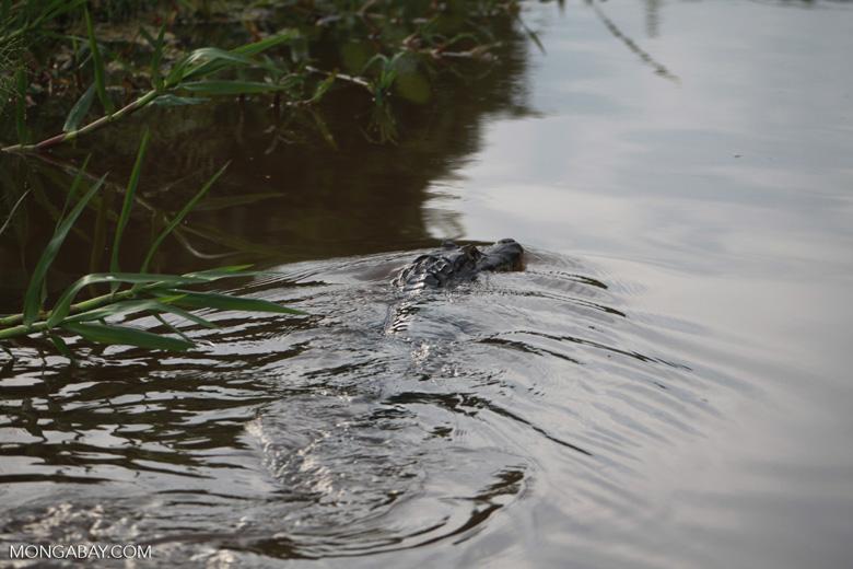 Caiman in the Pantanal