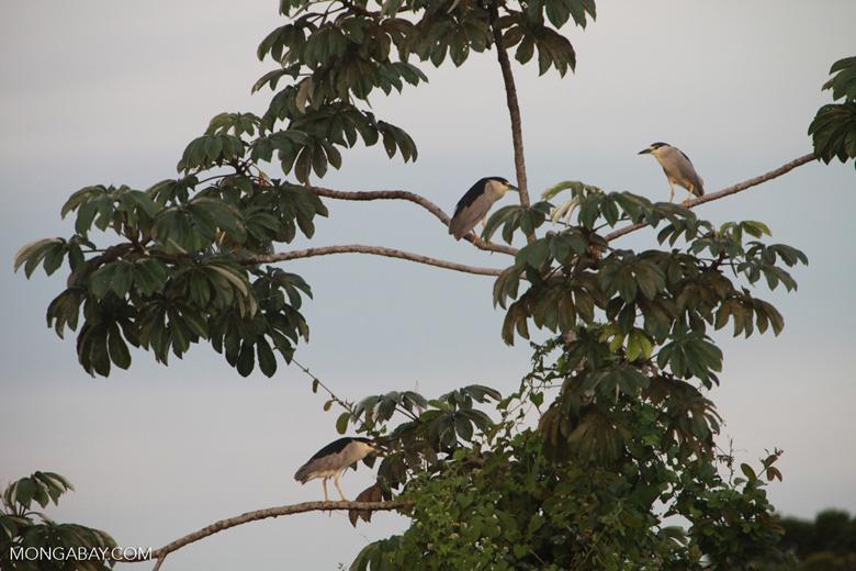 Black-crowned Night Herons (Nycticorax nycticorax) [brazil_1884]