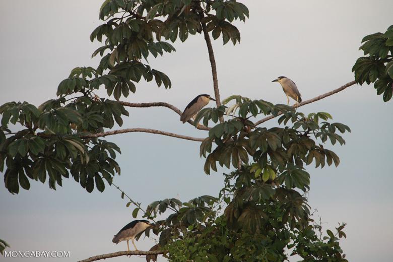 Black-crowned Night Herons (Nycticorax nycticorax)
