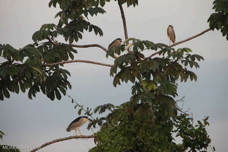 Black-crowned Night Herons (Nycticorax nycticorax) [brazil_1886]