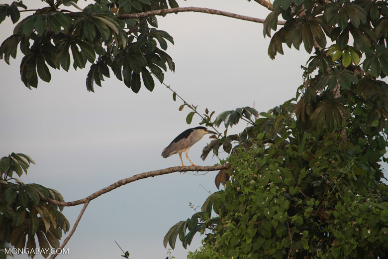 Black-crowned Night Herons (Nycticorax nycticorax) [brazil_1887]