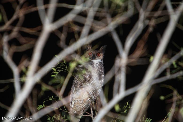 Great Horned Owl, Bubo virginianus [brazil_1943]