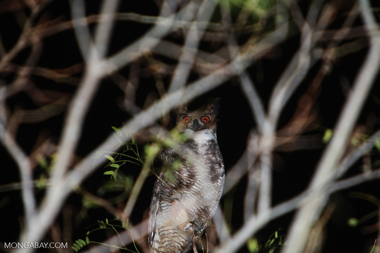 Great Horned Owl, Bubo virginianus [brazil_1944]