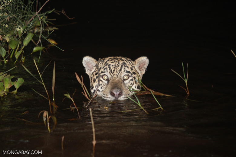 Jaguar emerging from the Pantanal [brazil_1945]