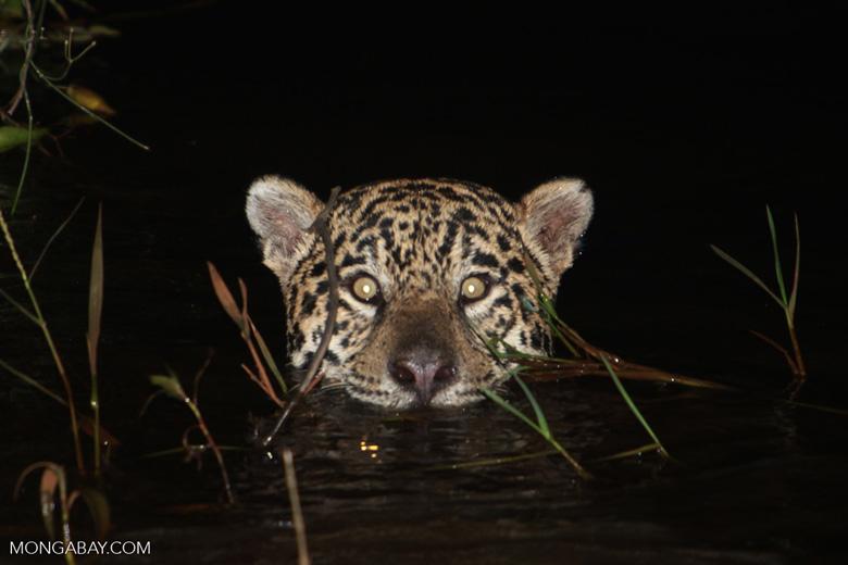 Jaguar emerging from the Pantanal [brazil_1946]