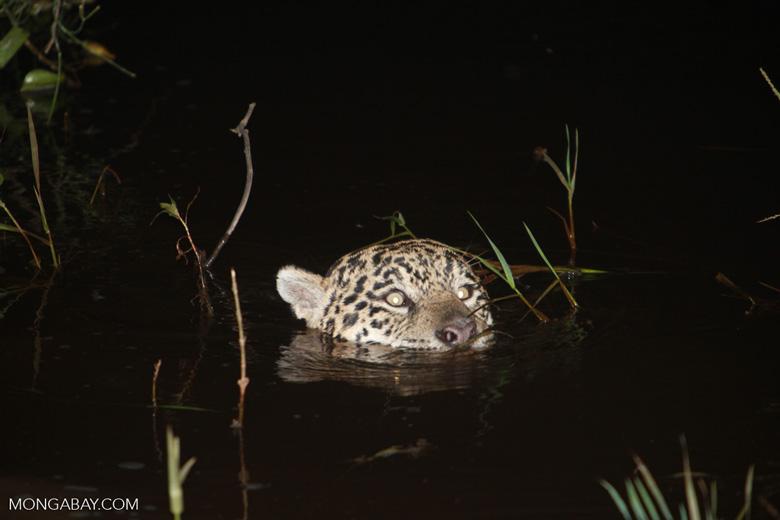 Jaguar emerging from the Pantanal [brazil_1947]