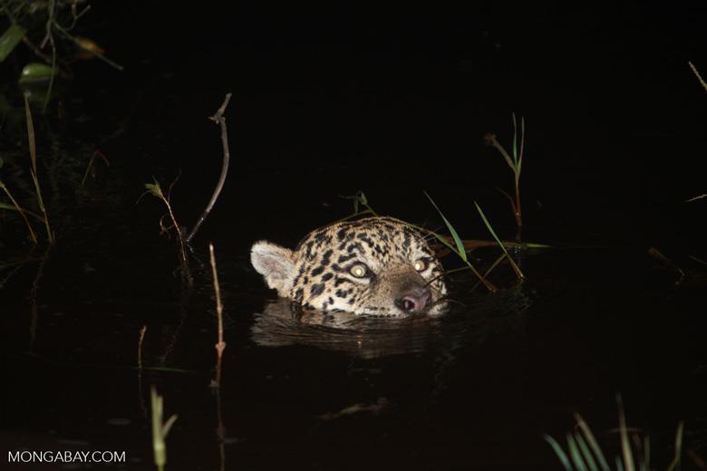 Jaguar emerging from the Pantanal [brazil_1948]