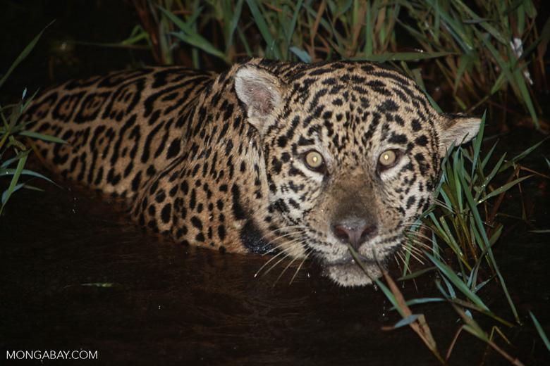 Jaguar emerging from the Pantanal [brazil_1949]
