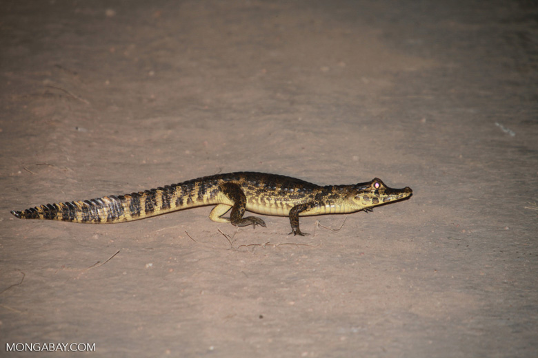 Caiman crossing a road
