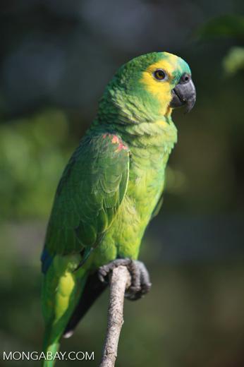 Turquoise-fronted Amazon (Amazona aestiva) [brazil_1961]