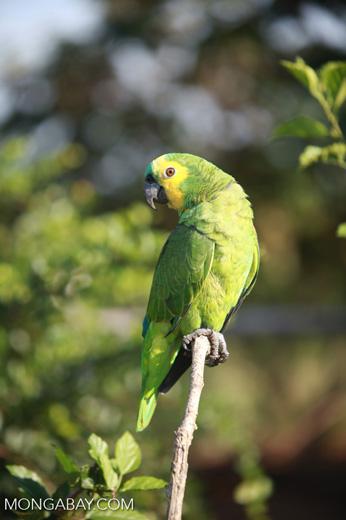 Blue-fronted Amazon Parrot (Amazona aestiva)