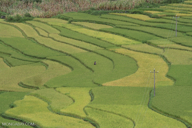 Man in a rice field