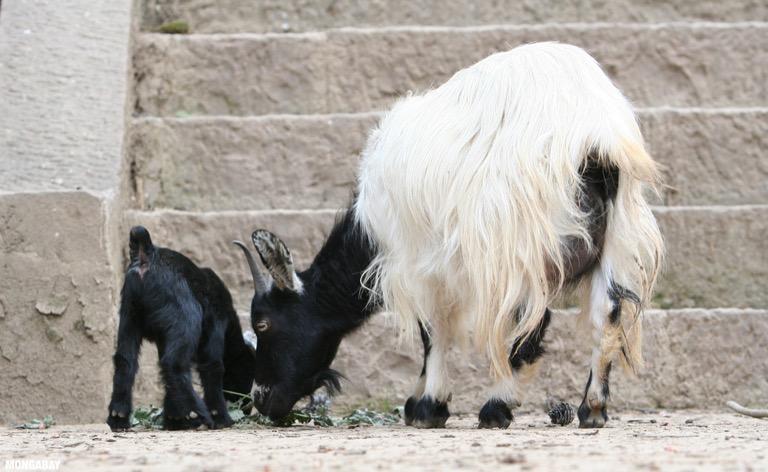 Spared-life goats at Da Bao si temple (Ringa monastery) In NW Yunnan