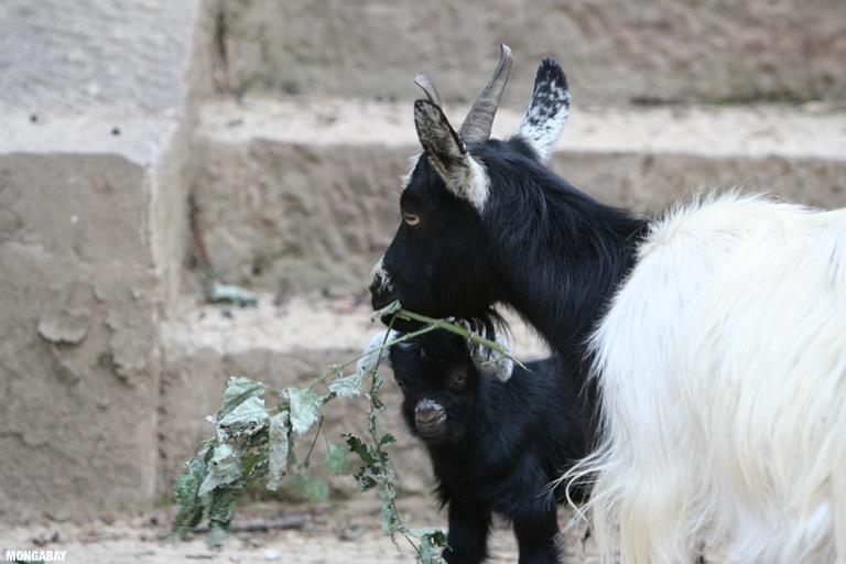 Spare-life animals at Ringa monastery