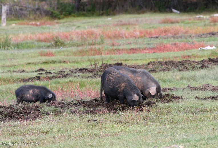Hogs rooting in a pasture