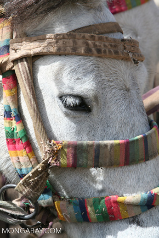 Closeup on a Tibetan pony