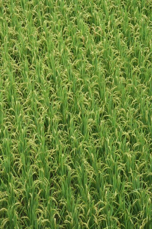 Stalks of rice in China