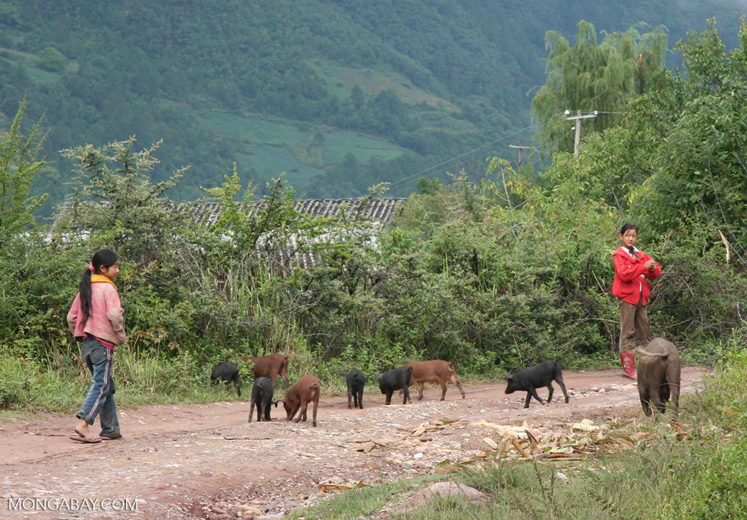 Two young girls with their pigs on a road in Ping'an