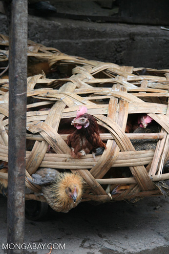 Live chickens in the Deqin market