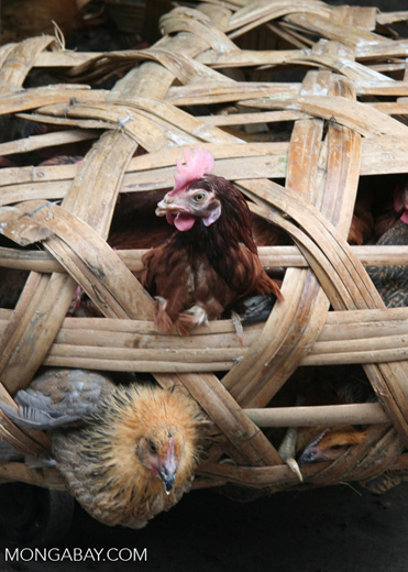 Live chickens in a Chinese market