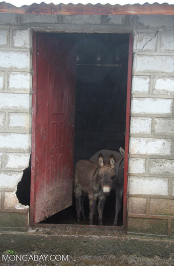 Baby donkey looking through a doorway in a foggy village in Tibetan Yunnan