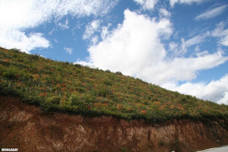 Wildflowers in Tibetan Yunnan