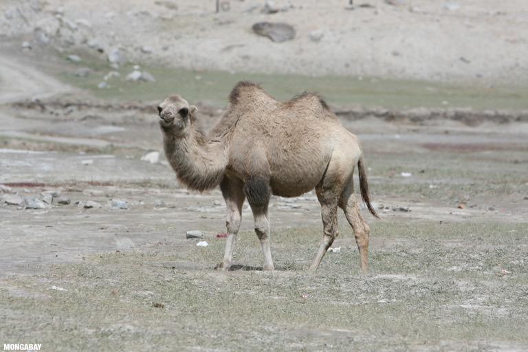 Camel in Xinjiang