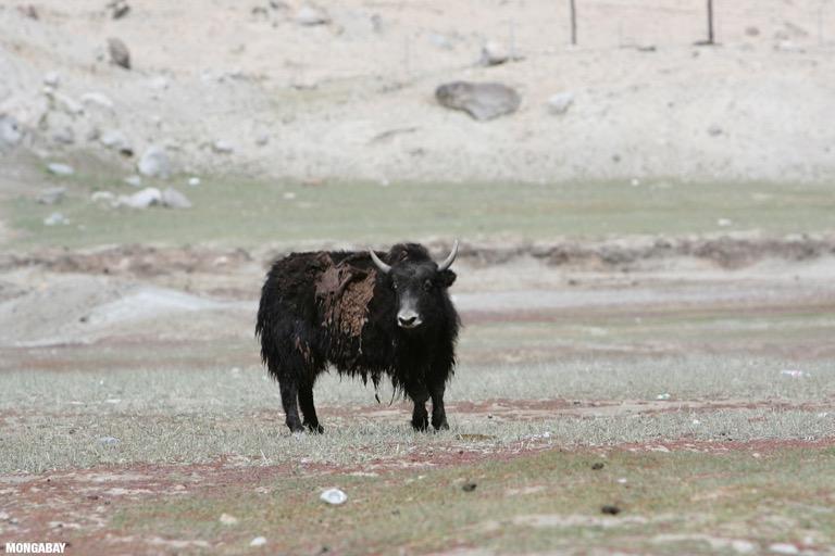 Yak in China
